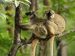 Two Brown Lemur, Mantadia, Madagascar.jpg