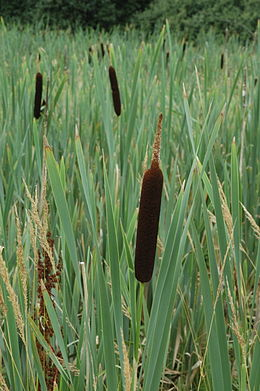Typha latifolia norway