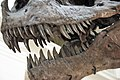 Tyrannosaurus rex (theropod dinosaur) (Hell Creek Formation, Upper Cretaceous; near Faith, South Dakota, USA) 27.jpg