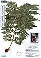 UC1755366 Woodwardia fimbriata (5550965507).jpg