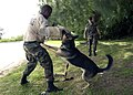US Navy 040316-N-7293M-107 Master at Arms Seaman Renthal Haynes, of Houston, Texas, protects his arm with a wrap as he acts as a training target for a military working dog.jpg