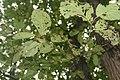 Ulmus rubra 9zz.jpg