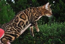Un precioso gato bengalí macho de la línea de cría Ramazan en España.jpg