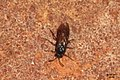 Unid. sawfly (FG) (37146073861).jpg