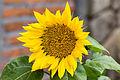 Unidentified flower, Bandungan, Semarang Regency, 2014-09-30 08.jpg