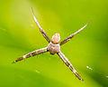 Unidentified spider, Taman Sari, Yogyakarta, 2014-05-19 01.jpg