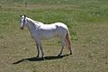 Unidentified white horse.jpg
