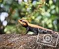 Urban lizard.jpg