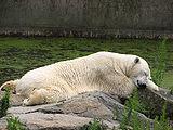 Ursus-maritimus-polar-bear-siesta-berlin-zoo.jpg