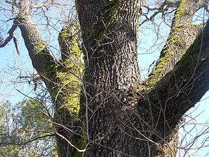 Quercus lobata - Close up of trunk fork and bark