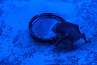 Common vampire bat - A vampire bat drinking at the Buffalo Zoo