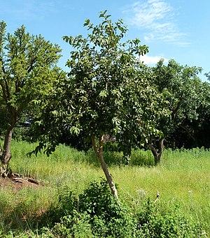 Vangueria infausta - Image: Vangueria infausta, habitus, Pretoria