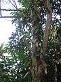 Vanilla - വാനില 03.JPG