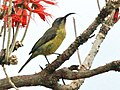 Variable Sunbird female RWD.jpg