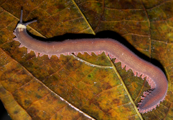 Velvet worm rotated, mirror.png