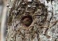 Veniliornis kirkii (Carpintero rabirrojo) (14422270517).jpg