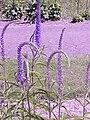 Veronica longifolia0.jpg