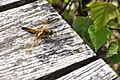 Viervlek (Libellula quadrimaculata) op Huis ter heide.jpg