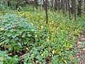 Vincetoxicum rossicum SCA-04868.jpg