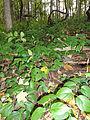 Vincetoxicum rossicum SCA-04870.jpg