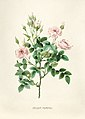 Vintage Flower illustration by Pierre-Joseph Redouté, digitally enhanced by rawpixel 60.jpg