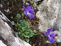 Viola alpina a1