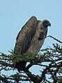 Vulture in Tanzania 2597 cropped Nevit.jpg