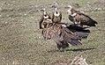 Vultures near Highway.jpg