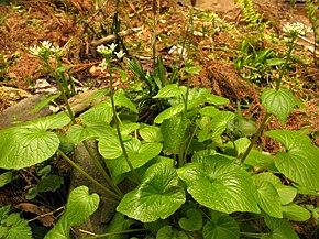 Wasabi wikip dia for Plante wasabi