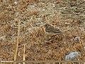Water Pipit (Anthus spinoletta) (34100408725).jpg