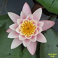 Water lily (SG) (15583309496).jpg