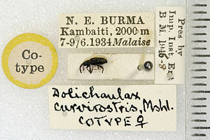 René Malaise - A weevil (Coleoptera:Curculionidae) collected in Burma by René Malaise: now a type specimen of Dolichaulax curvirostris Marshall, housed in the Natural History Museum, London