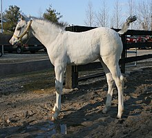 Thoroughbred White breed pictures recommendations dress for everyday in 2019