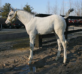 "White (horse) - This ""white-born"" or ""fewspot"" Appaloosa foal has a mostly pink-skinned white coat."