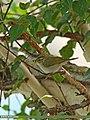 Western Crowned Warbler (Phylloscopus occipitalis) (32087901656).jpg