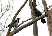 Photo of a magpie jackdaw and a jackdaw