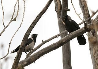 <i>Coloeus</i> Genus of birds