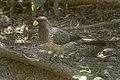 Western Plantain-eater - Gambia (32497647292).jpg
