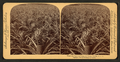 Where the luscious pineapple grows, Florida, U.S.A, from Robert N. Dennis collection of stereoscopic views 3.png