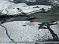 White-capped Redstart (Chaimarrornis leucocephalus) (15894232862).jpg