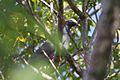 White-crowned Pigeon (6774904602).jpg