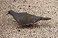 White-winged Dove 1 (4377978220).jpg