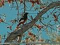 White-winged Redstart (Phoenicurus erythrogastrus) (29058797232).jpg