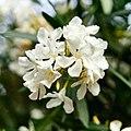 White Nerium Oleander.jpg