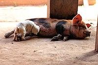 White puppy suckling a pig.jpg