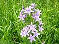 Wiesen-Glockenblume Mitterfels.jpg