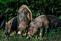 Wikiearth-Babi Hutan Taman Nasional Tanjung Puting.jpg