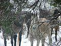 Wild Brumbies Australia 14.jpg
