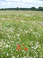 Wild Flower Meadow, West Horsley - geograph.org.uk - 494416.jpg