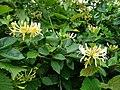 Wild Honeysuckle, Lonicera periclymenum - geograph.org.uk - 860869.jpg